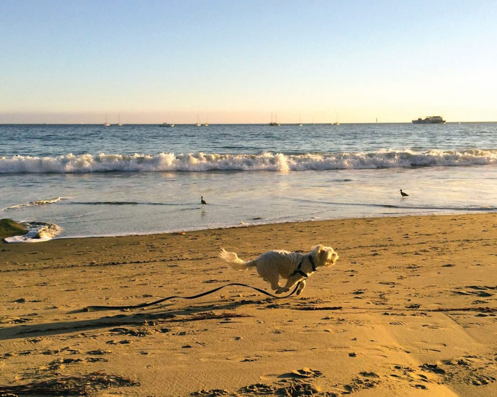 Small white dog chases birds at sunset at Summerland Beach, Santa Barbara