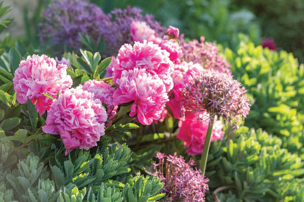 Alliums, peonies, sedum