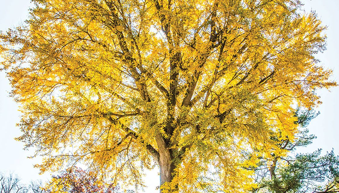 A gingko tree (one of Hillwood Museum and Gardens' oldest trees) in fall splendor