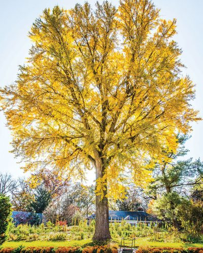 gingko tree, autumn