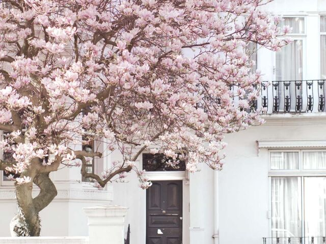 A tree blooms with pink flowers in front of a white, stately London home in Notting Hill