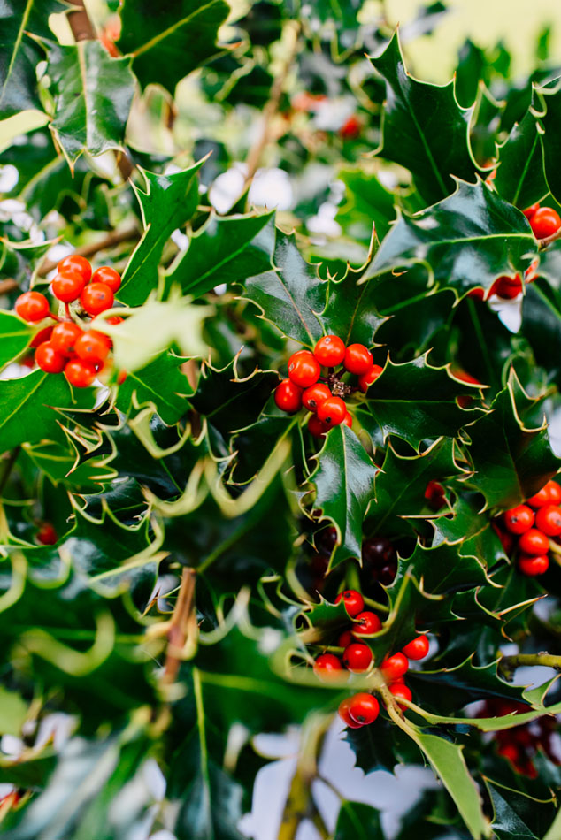 foraged winter foliage, holly leaves and berries