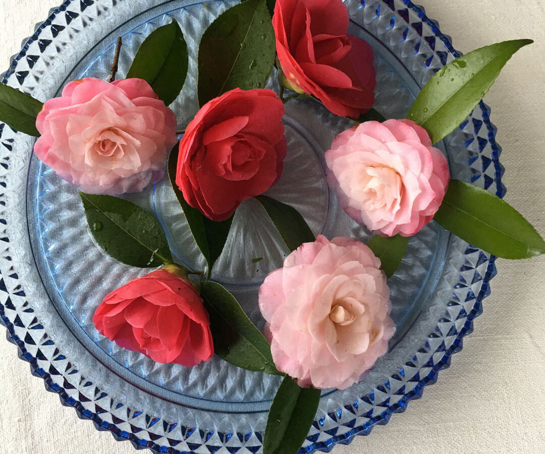 camellia blooms floating in a vintage blue dish