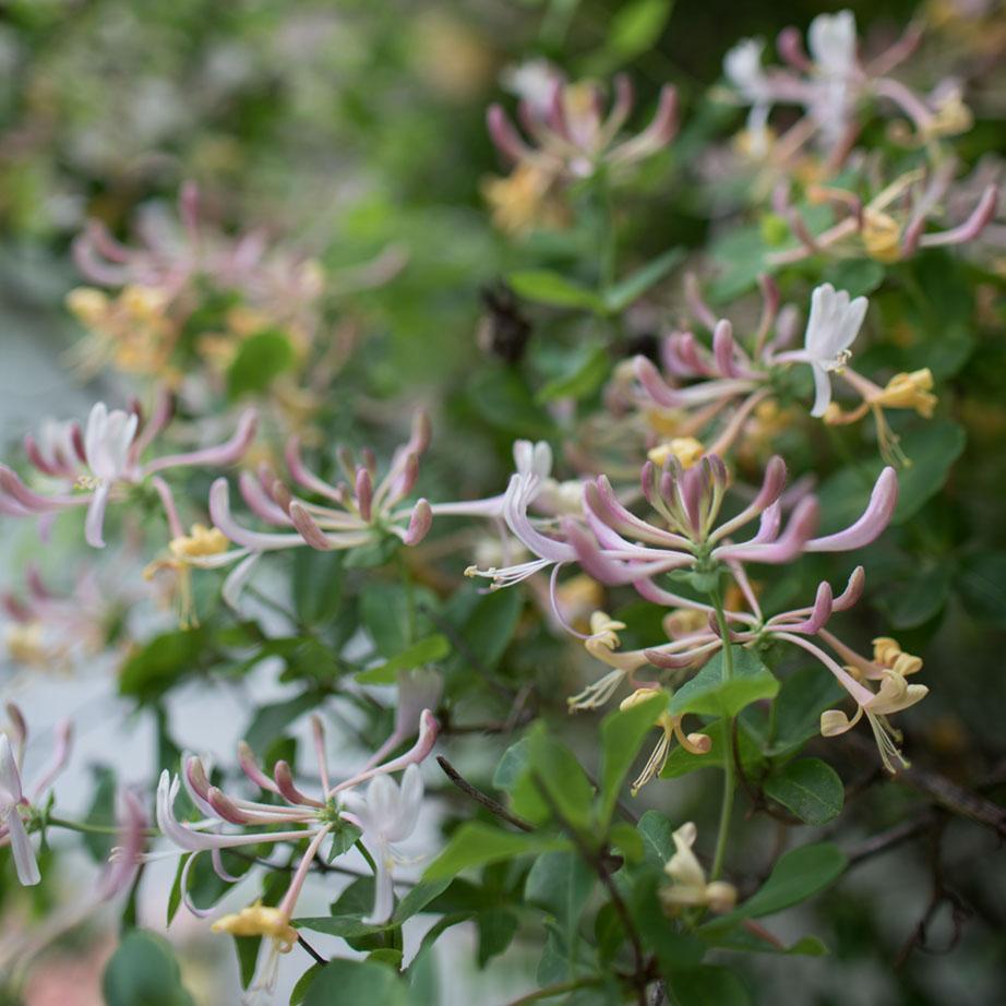 close up of Erin Benzakein's treasured honeysuckle vine in bloom