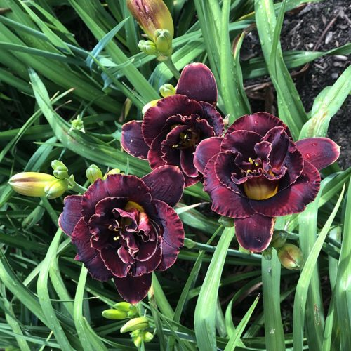deep purple daylilies, almost black