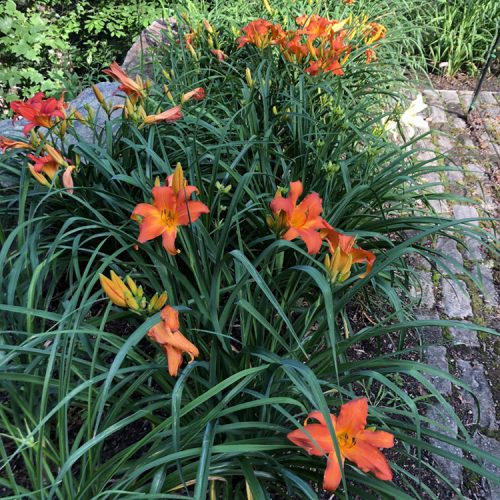 a bed of bright orange daylilies growing beside a cobblestone patio
