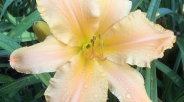 Ruffled Apricot daylily with ruffled edges