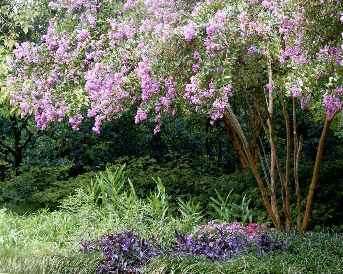 crepe myrtle tree with pink blooms shades a garden bed on the outskirts of a lawn
