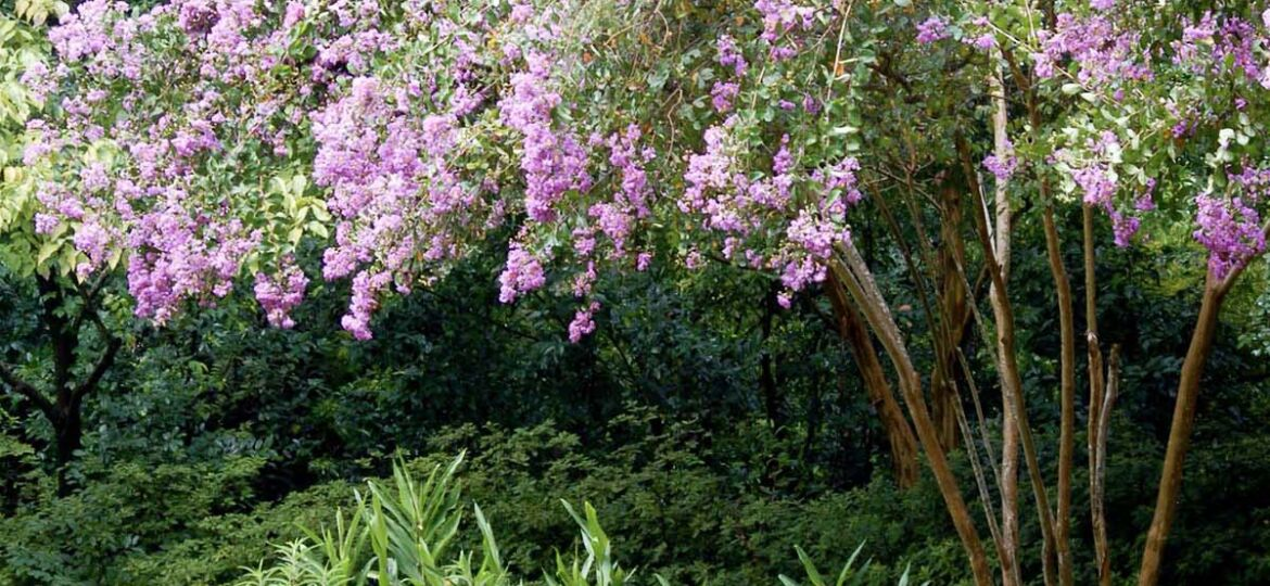 crepe myrtle tree with pink blooms shades a garden bed
