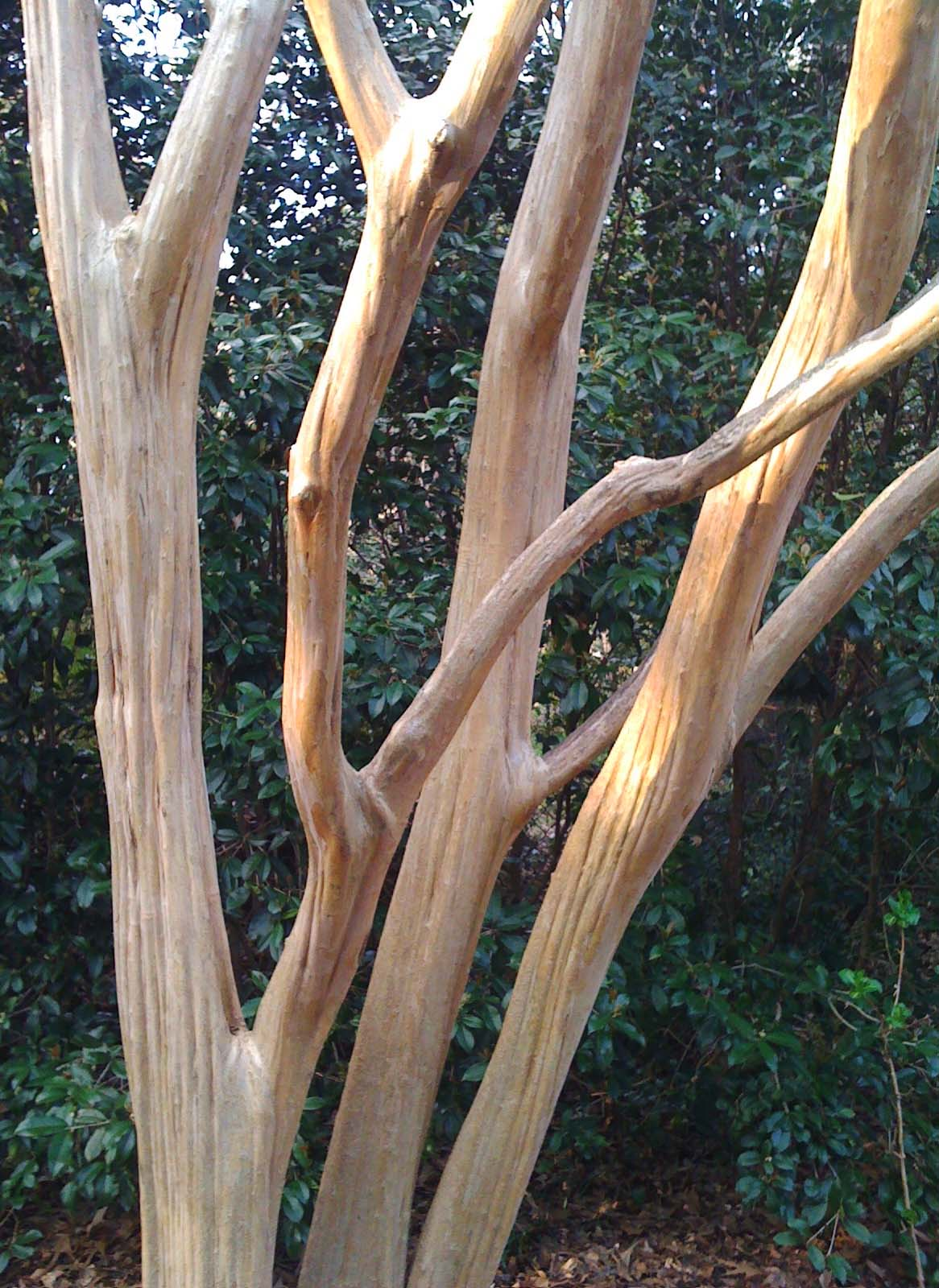 close up of the trunk and bark of a crepe myrtle tree