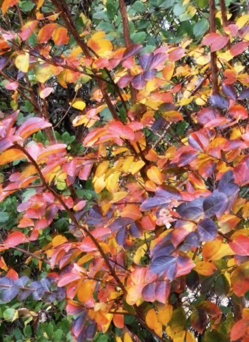 Close-up of yellow, orange, and red tinged foliage on a crepe myrtle tree in autumn