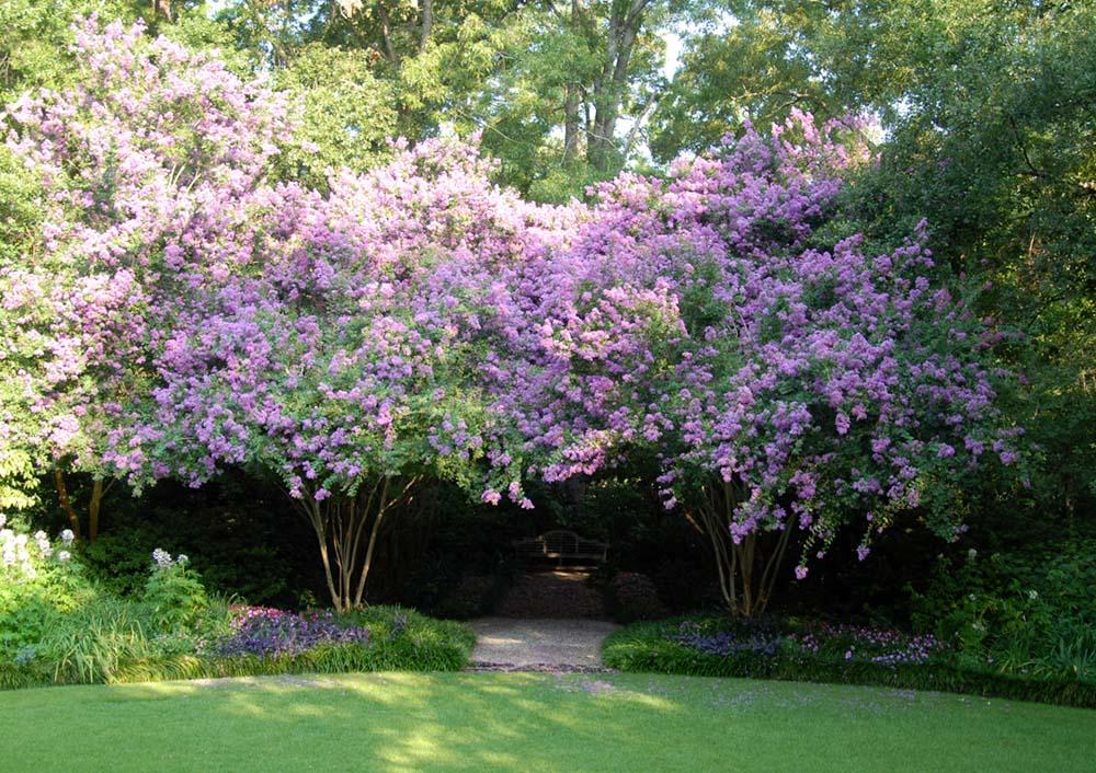 an allee of crepe myrtles in full bloom