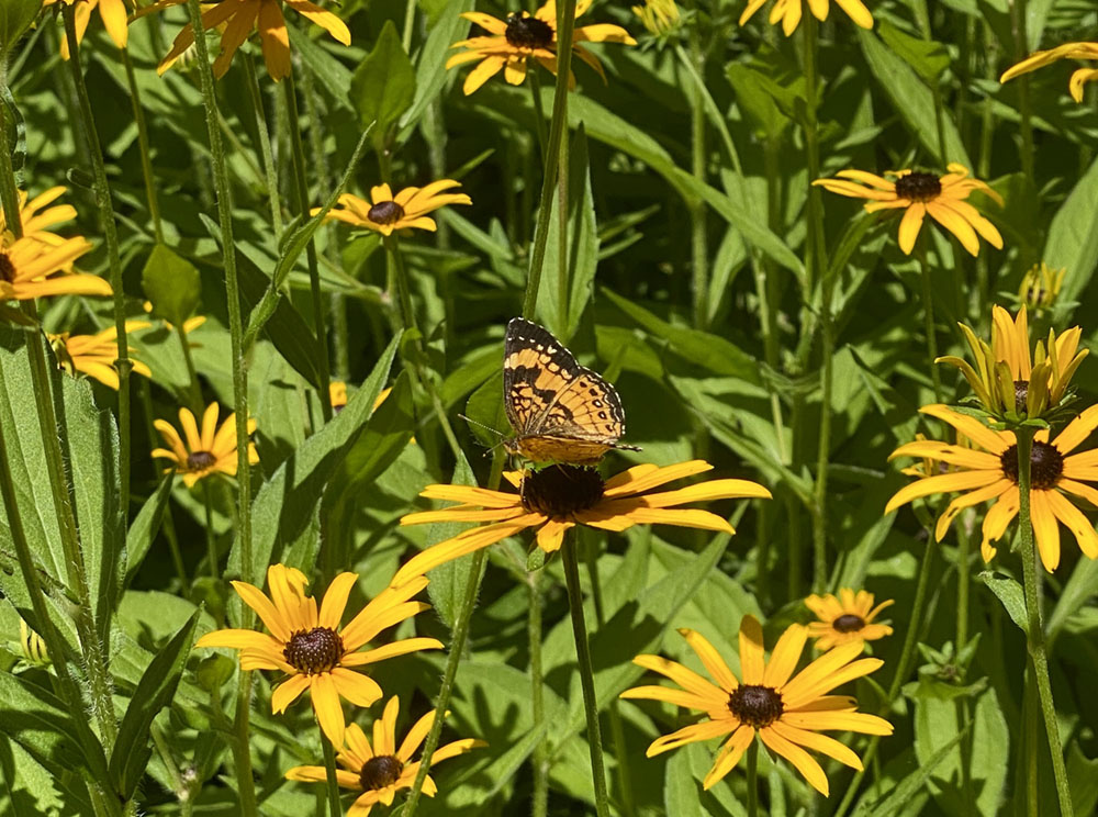 flowers that attract pollinators, yellow flowers of black-eyed Susan