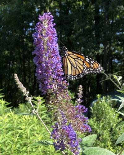Monarch butterfly on purple butterfly bush (or Buddleia)