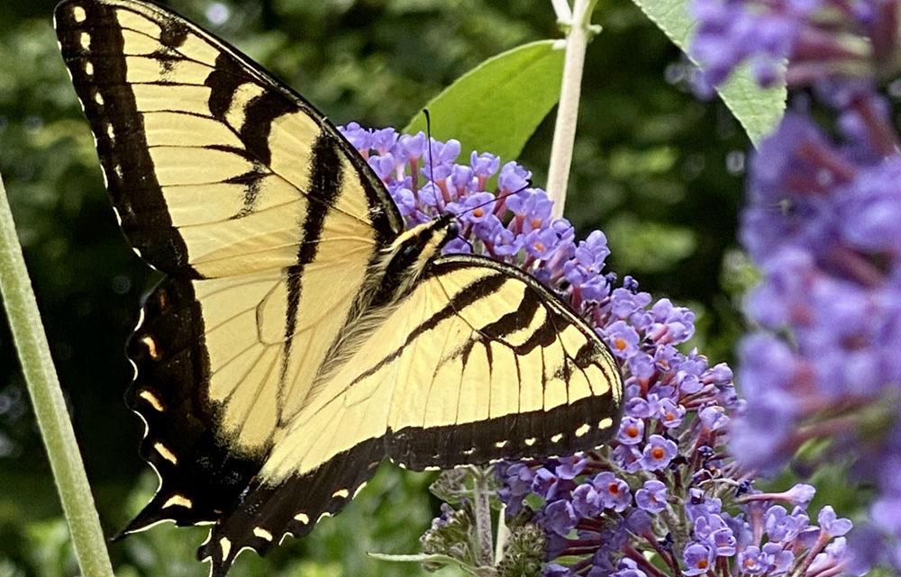 Yellow swallowtail butterfly on purple butterfly bush blooms