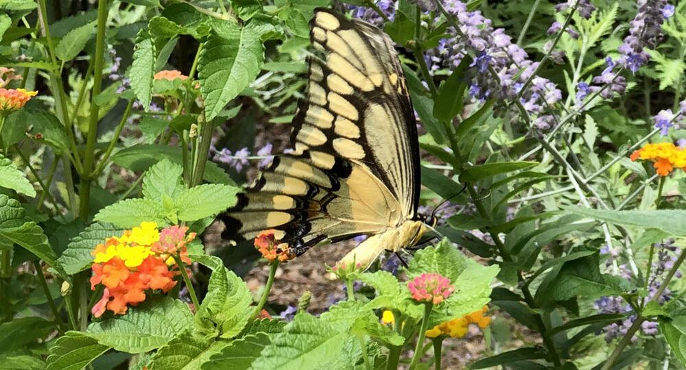 butterfly_garden_IMG_2659