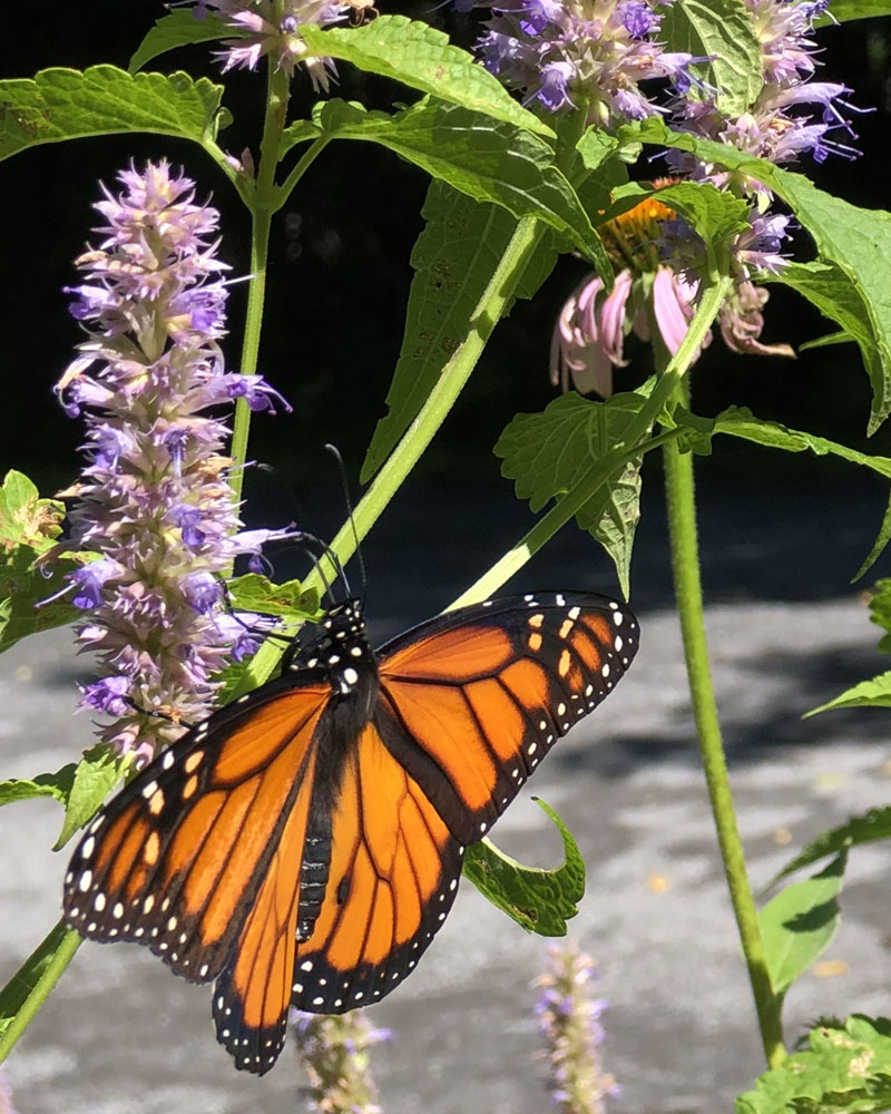 adult Monarch, butterfly garden