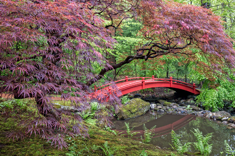 red buds in bloom by a red arched bridged crossing a creek