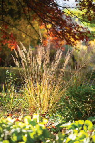 ornamental grass, Calamagrostis brachytricha