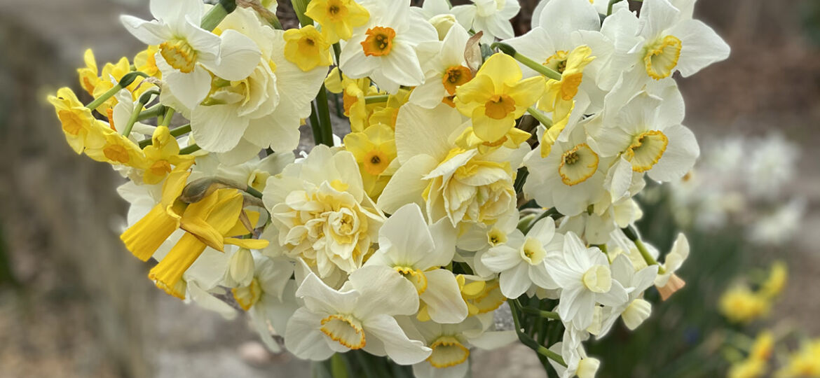 vase of assorted daffodil blooms, from pale to bright yellow