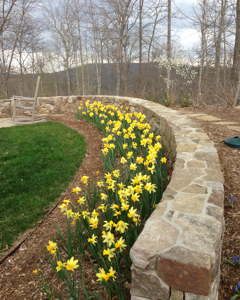 a drift of bright yellow daffodils along a low, curved stone garden wall with the mountains in the background