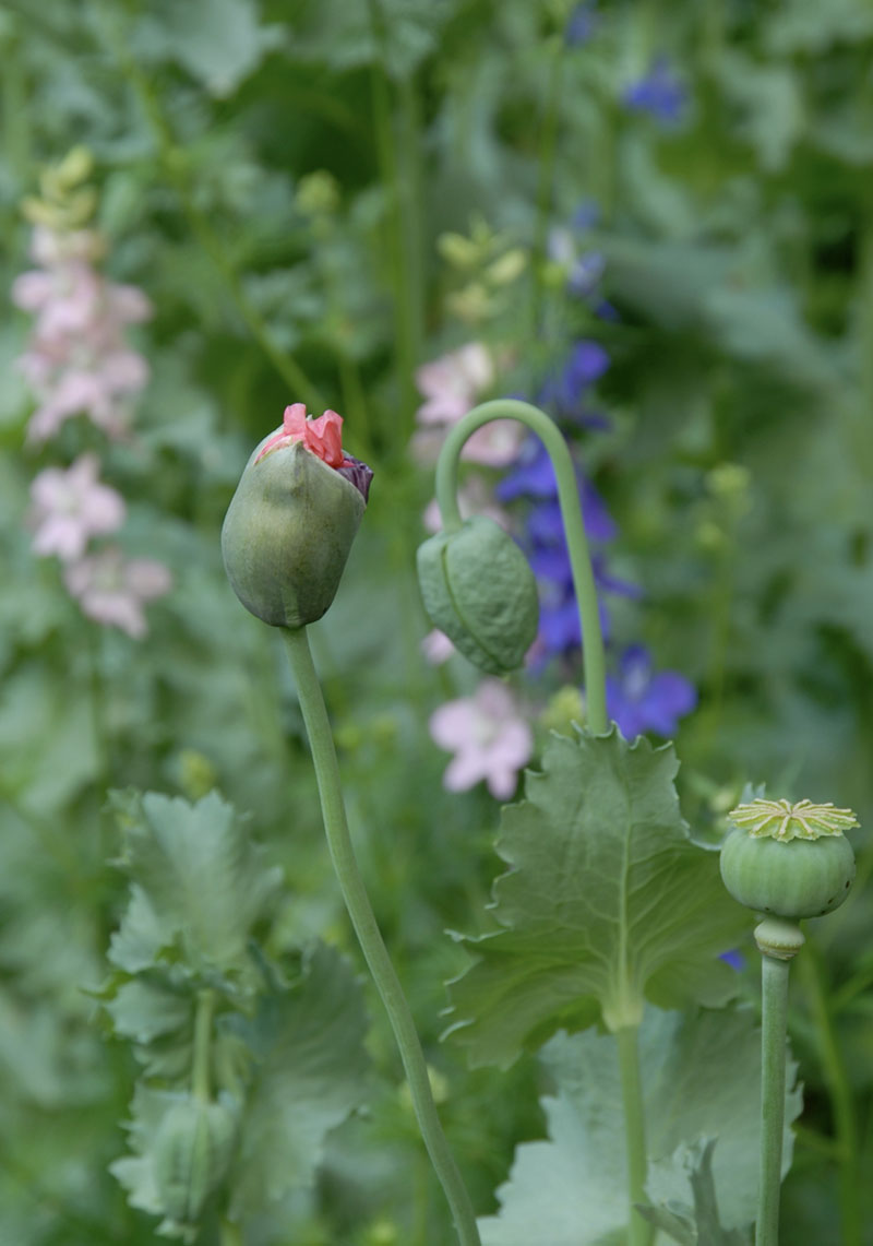 two poppy buds and one green poppy pod on stems in the garden