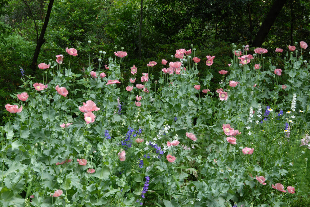 flower garden of poppies and larkspur