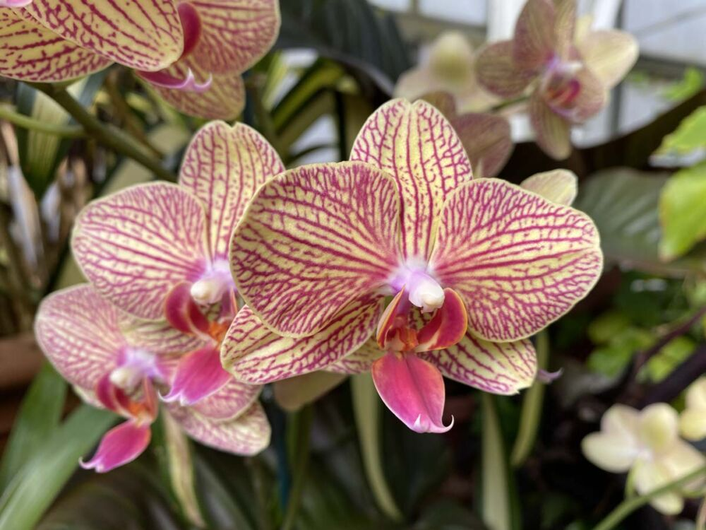 Pale yellow orchids with an intricate bright pink pattern overlaying the larger petals, and a smaller pink petal at the flower's center.