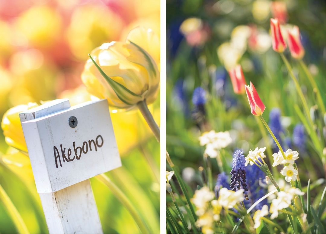 Details of flowers at the 2020 Tulip Festival at The Stevens-Coolidge Place