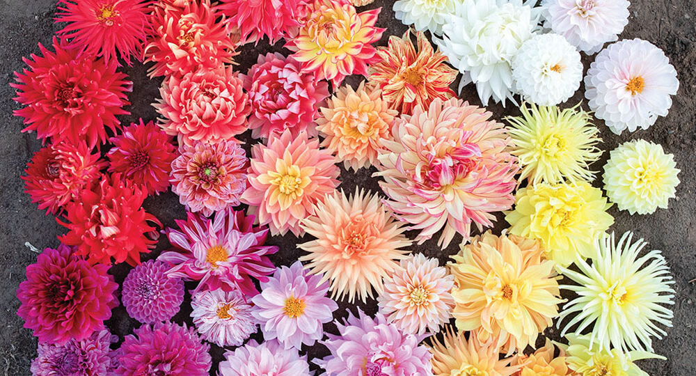 a vignette of hybrid dahlia blooms ranging from yellow and orange to pink, coral, red and fuschia from the book Floret Farm's Discovering Dahlias (Chronicle Books, 2021)