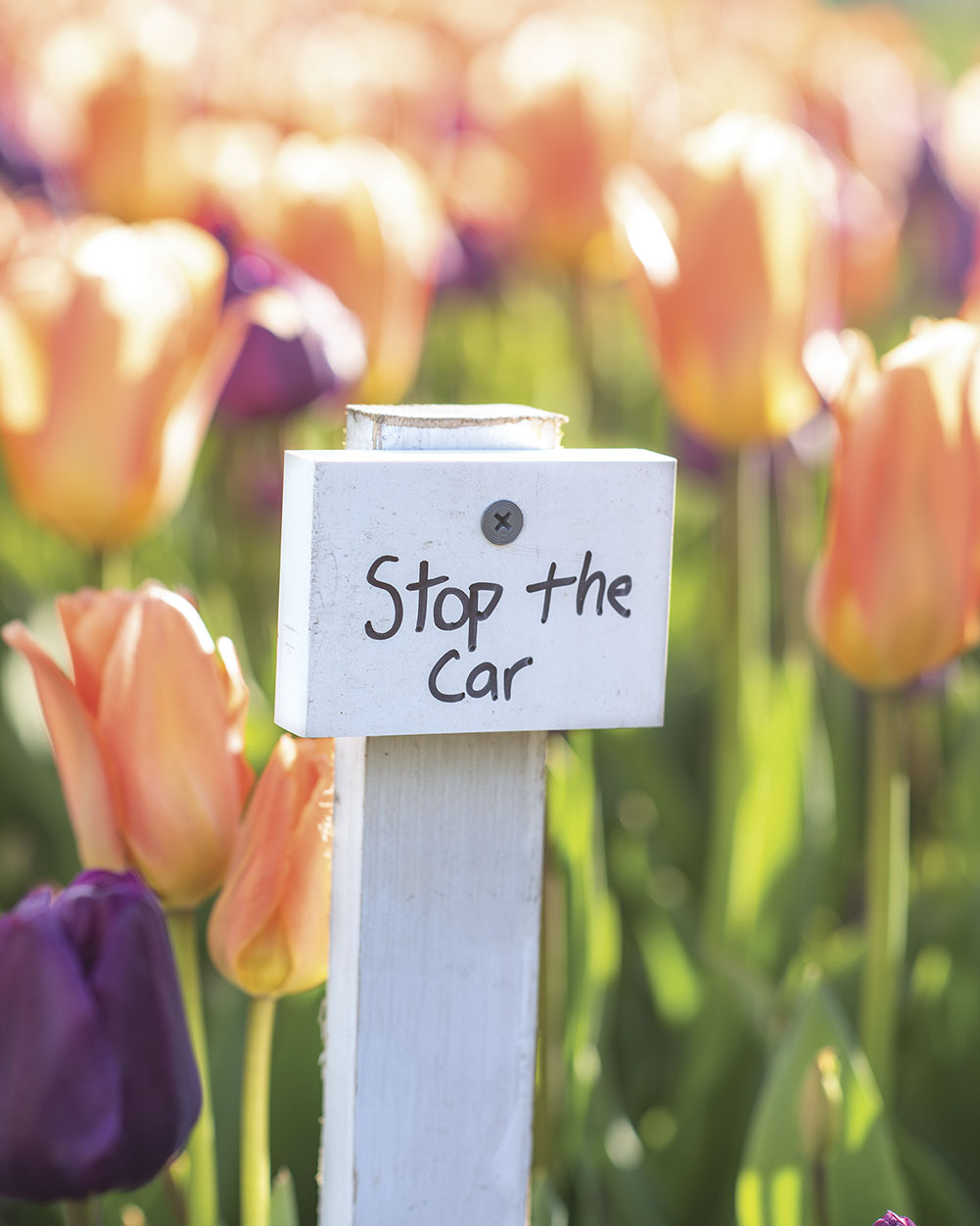 """Colorblends """"Stop the Car"""" tulips"""