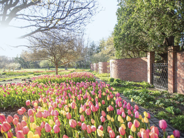 field of yellow and pink tulips along a wavy brick wall