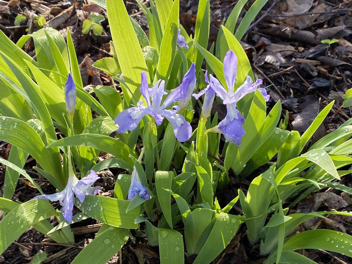 Dwarf Iris, purple wildflowers