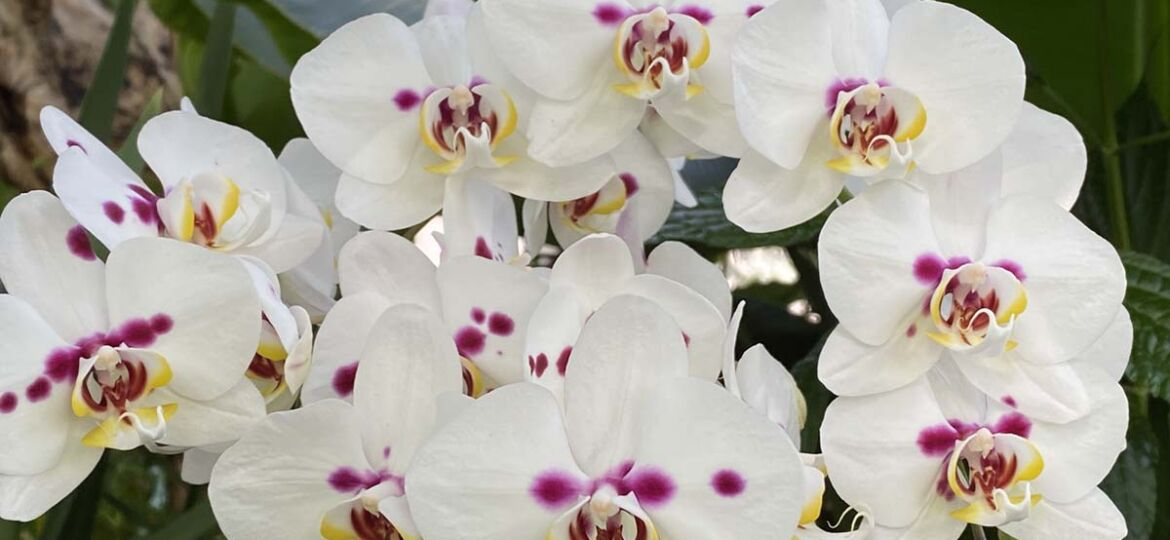 A orchid stem covered in white blooms with pink spots and yellow accents at the Biltmore Orchid Conservatory