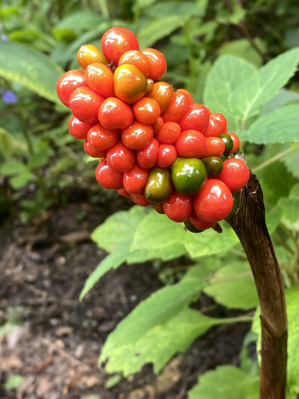 cluster of red berries on a Jack-in-the-pulpit, North American wildflower