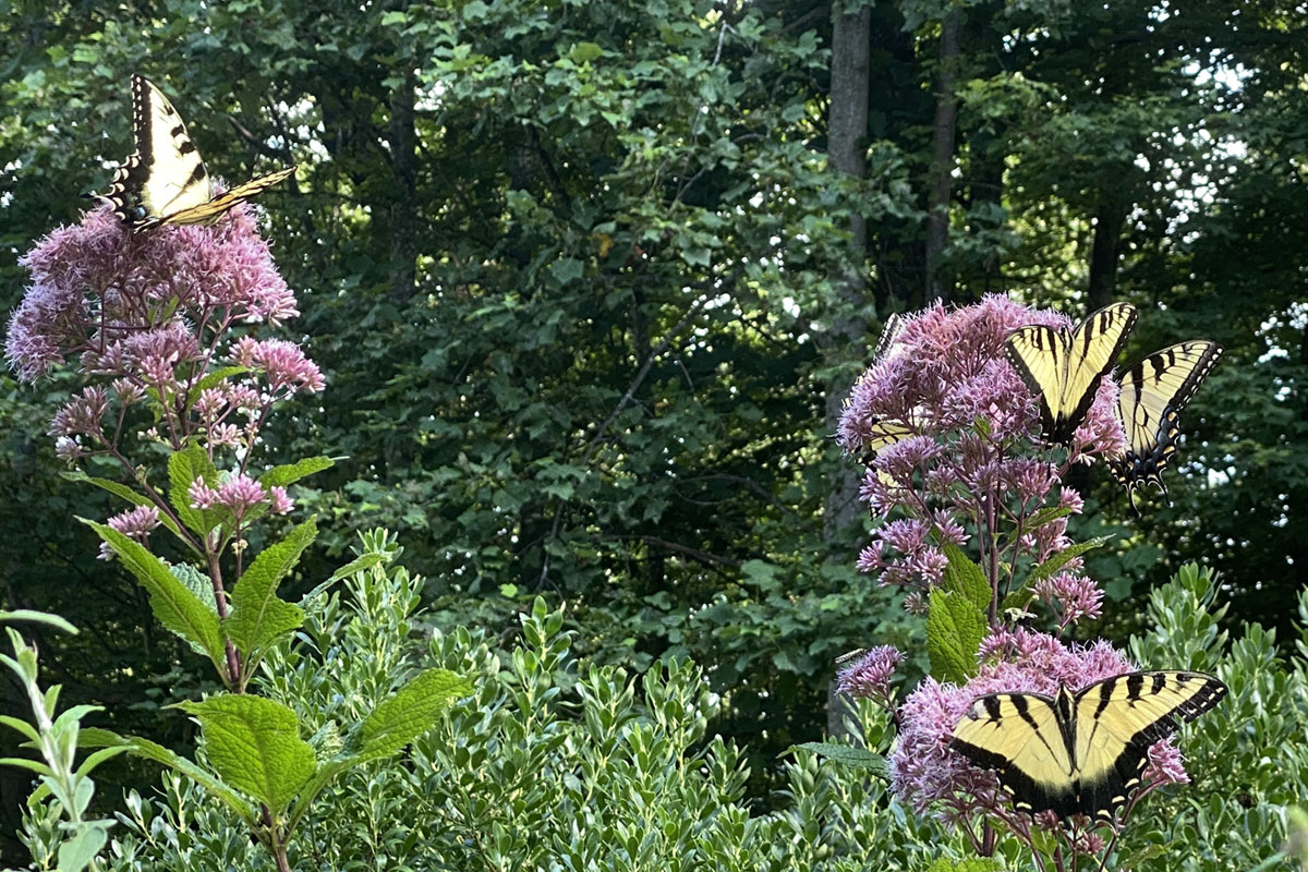 Four yellow swallowtail butterflies alight on the purple blooms of Joe-Pye Weed, a wildflower native to the Blue Ridge Mountains of North Carolina