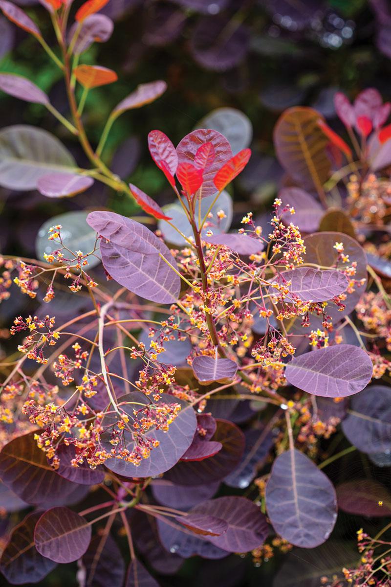 detail of red-tinged foliage of smokebush