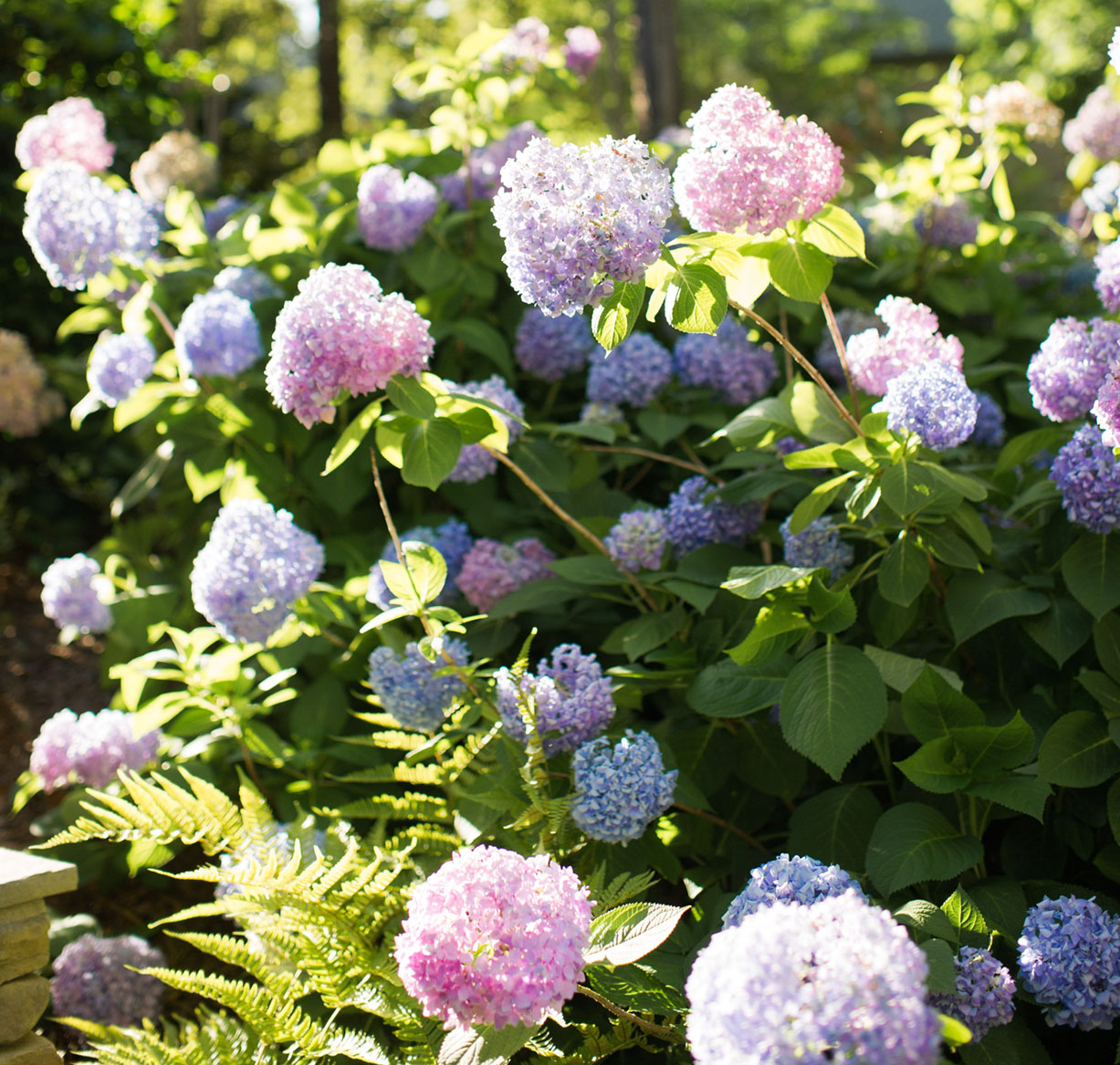 blue and pink-blooming hydrangea bush in the sunlight, photo courtesy of Father Nature