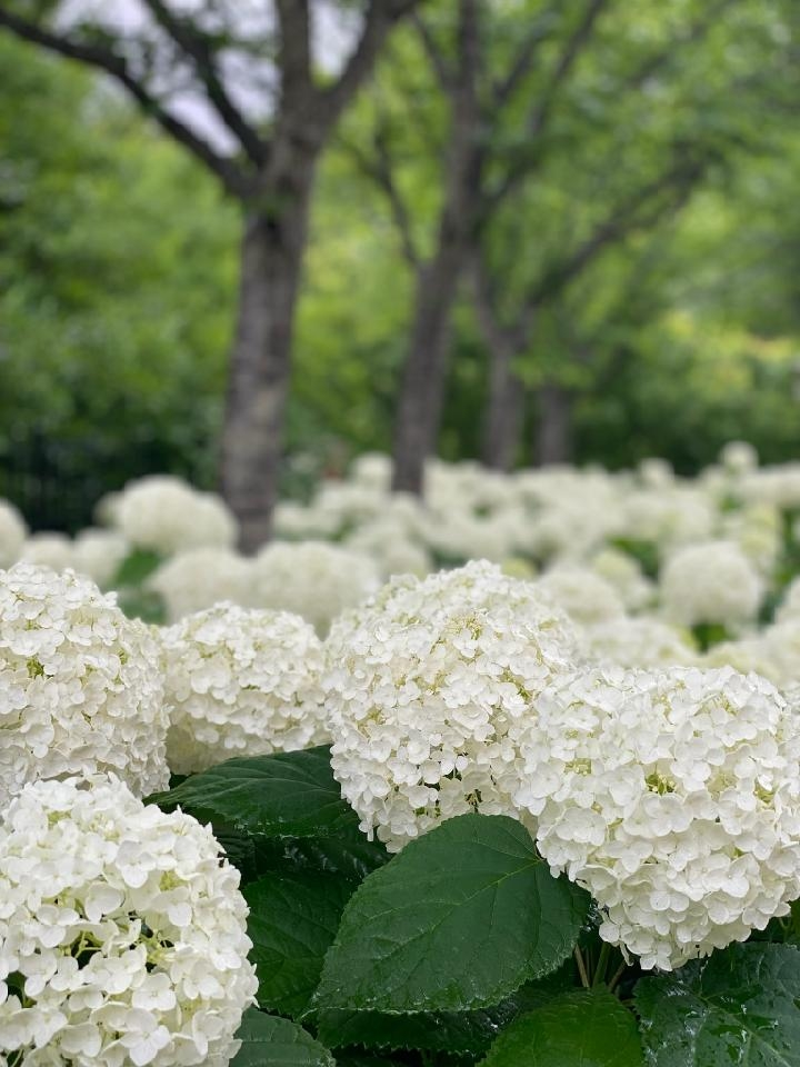wild hydrangea with large white flowers