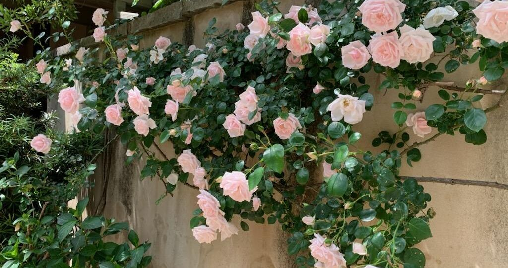 pale pink climbing roses on a wall
