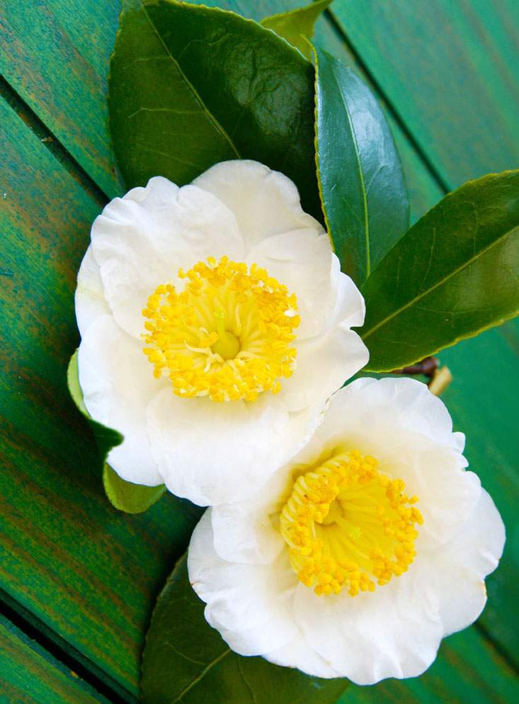 a macro closeup of green branch of tea tree Camelia Camellia sinensis white and yellow flower blossom isolated on black, its leaves and leaf buds are used to make tea