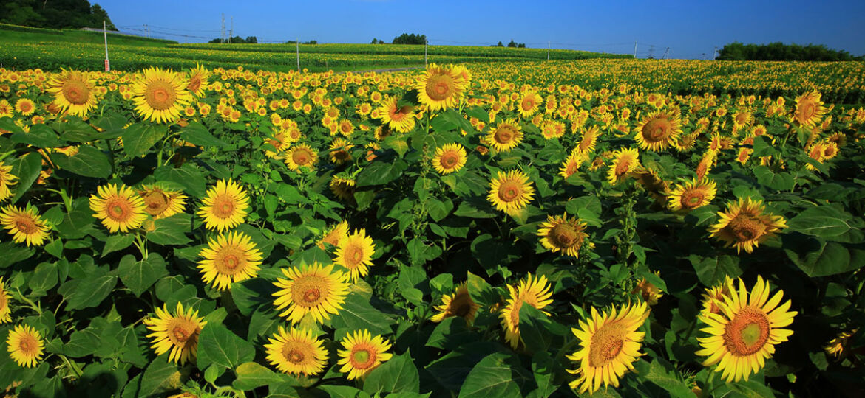 Sunflower,Field,Of,Miyagi,Pref.