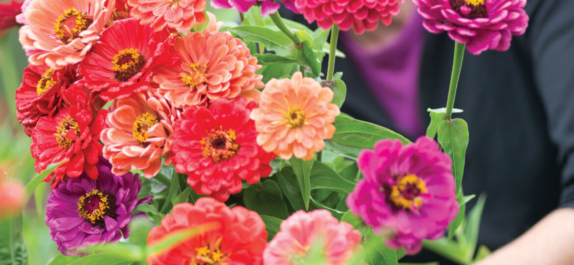 zinnia in a range of pink and purple uses, bloom at Edgewater Farm in New Hampshire