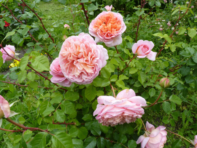 Rosa 'Abraham Darby, an old-style garden rose that thrives under natural rose care