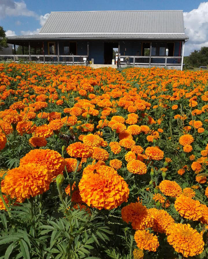 types of marigolds, Chedi marigolds