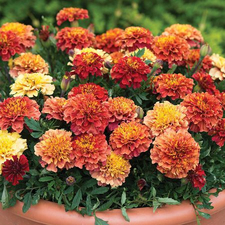 types of marigolds, Tagetes patula 'Strawberry Blonde' presents its soft yellow and pink blooms in a terra cotta pot