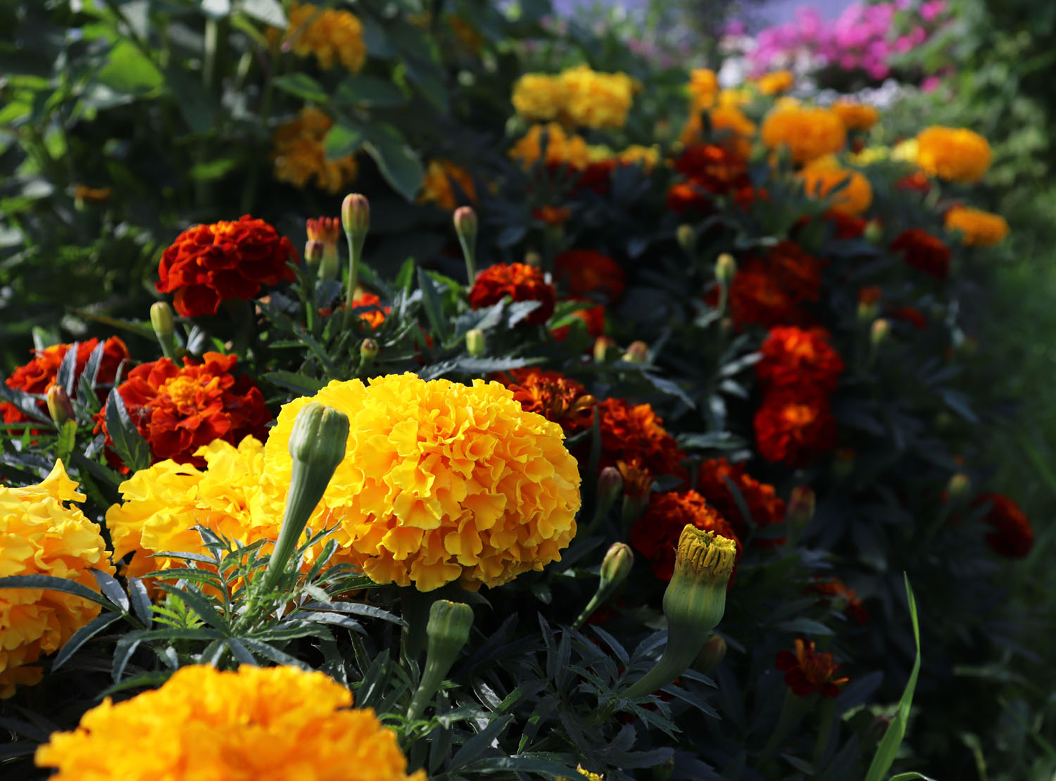 garden border of yellow and burnt-orange blooming French marigolds, the low-growing type of marigolds